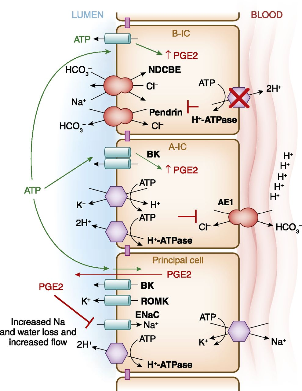 Collecting Duct Intercalated Cell Function and Regulation