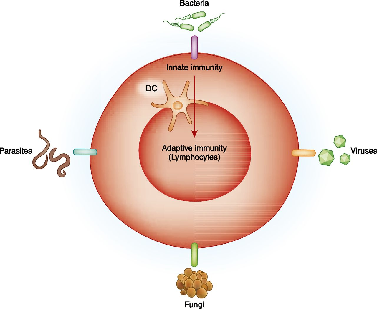 A Brief Journey Through The Immune System American Society Of