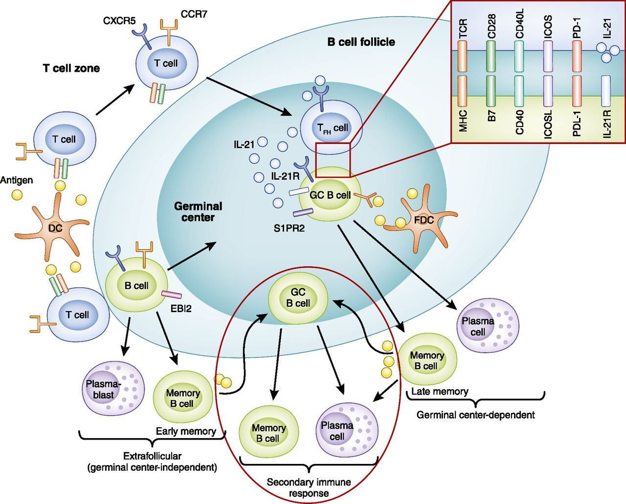 B Cells, Antibodies, and More | American Society of Nephrology