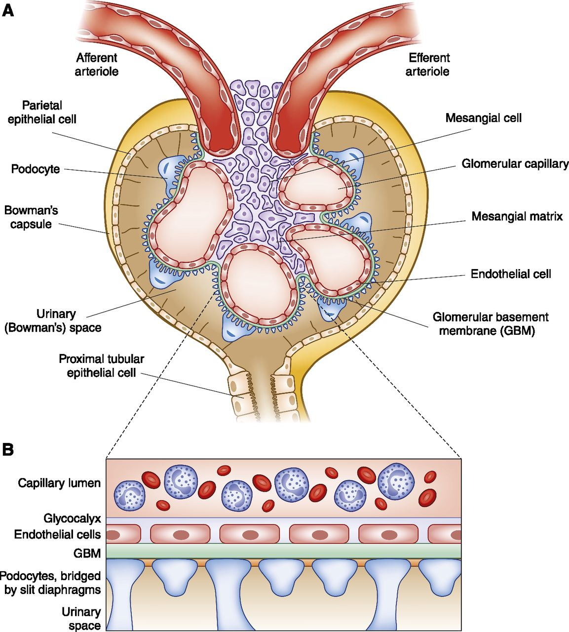 The Players: Cells Involved In Glomerular Disease