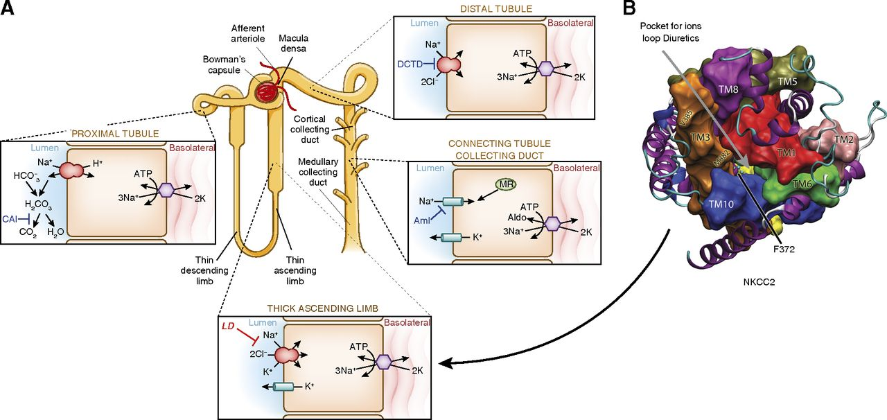 Clinical Pharmacology in Diuretic Use | American Society of