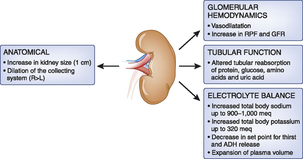 Obstetric Nephrology: Renal Hemodynamic and Metabolic Physiology in ...