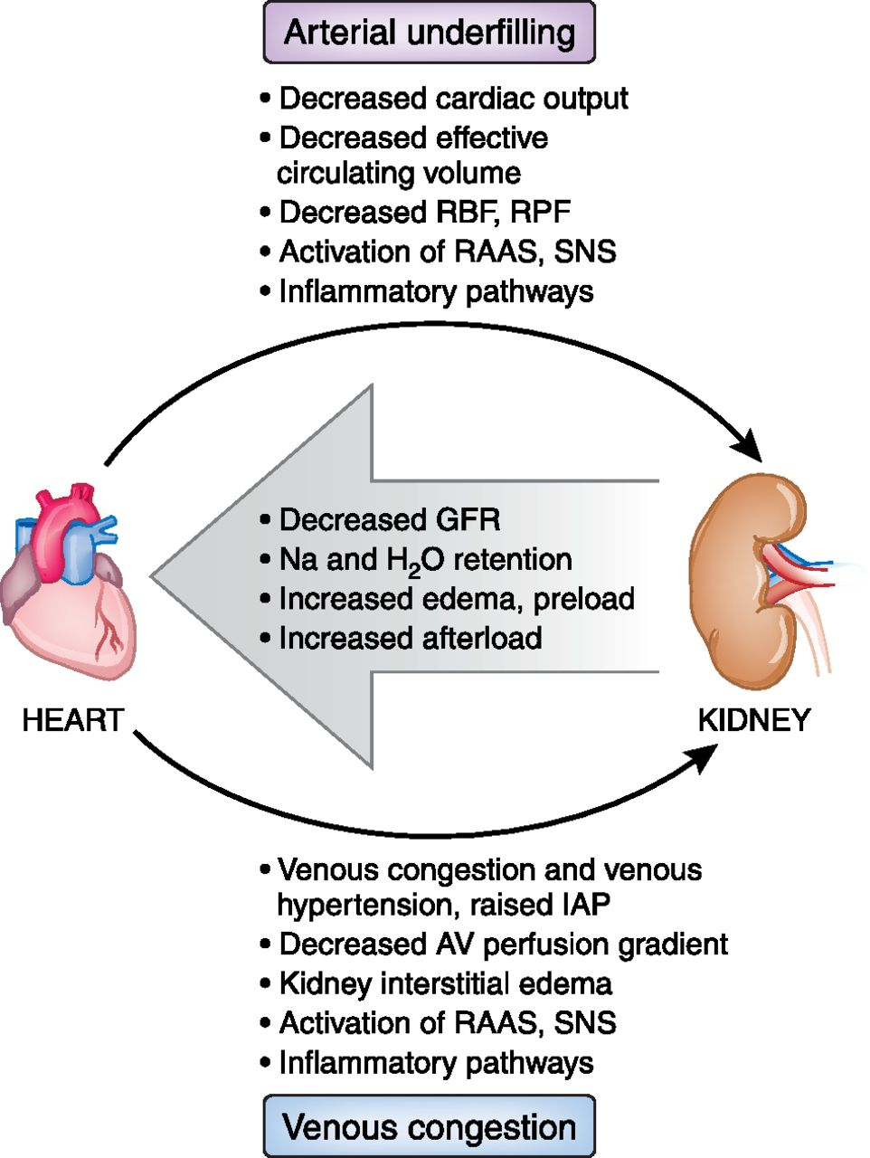 Cardiorenal Syndrome: New Developments in the Understanding