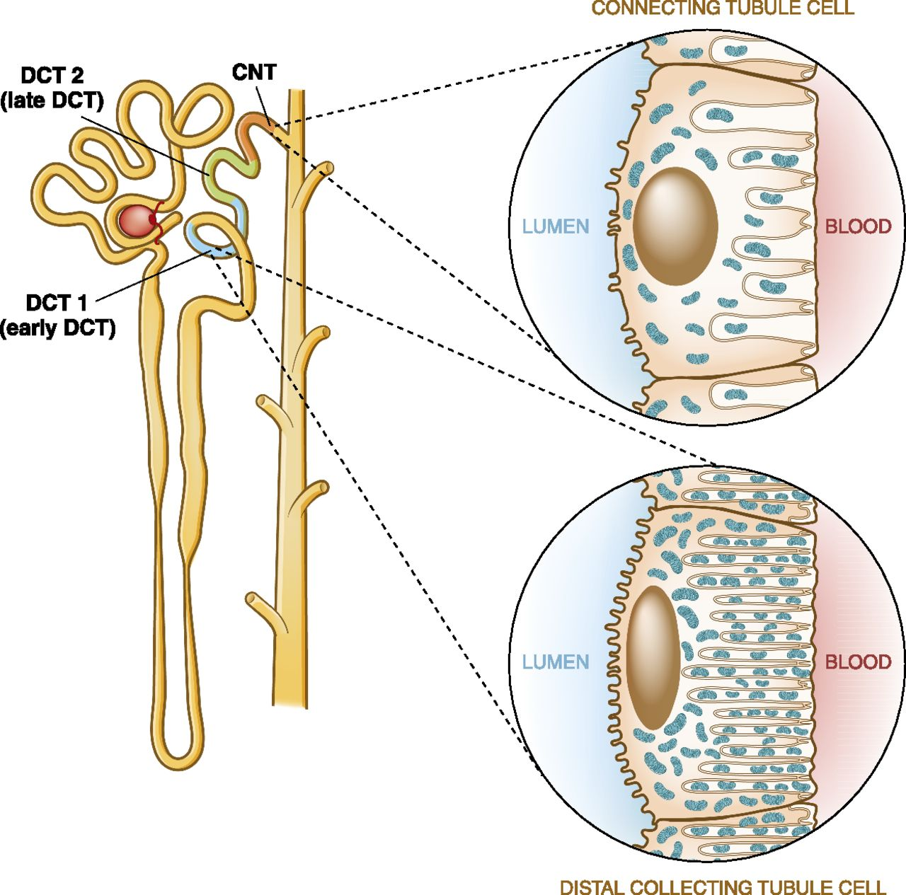 distal convoluted tubule american society of nephrology