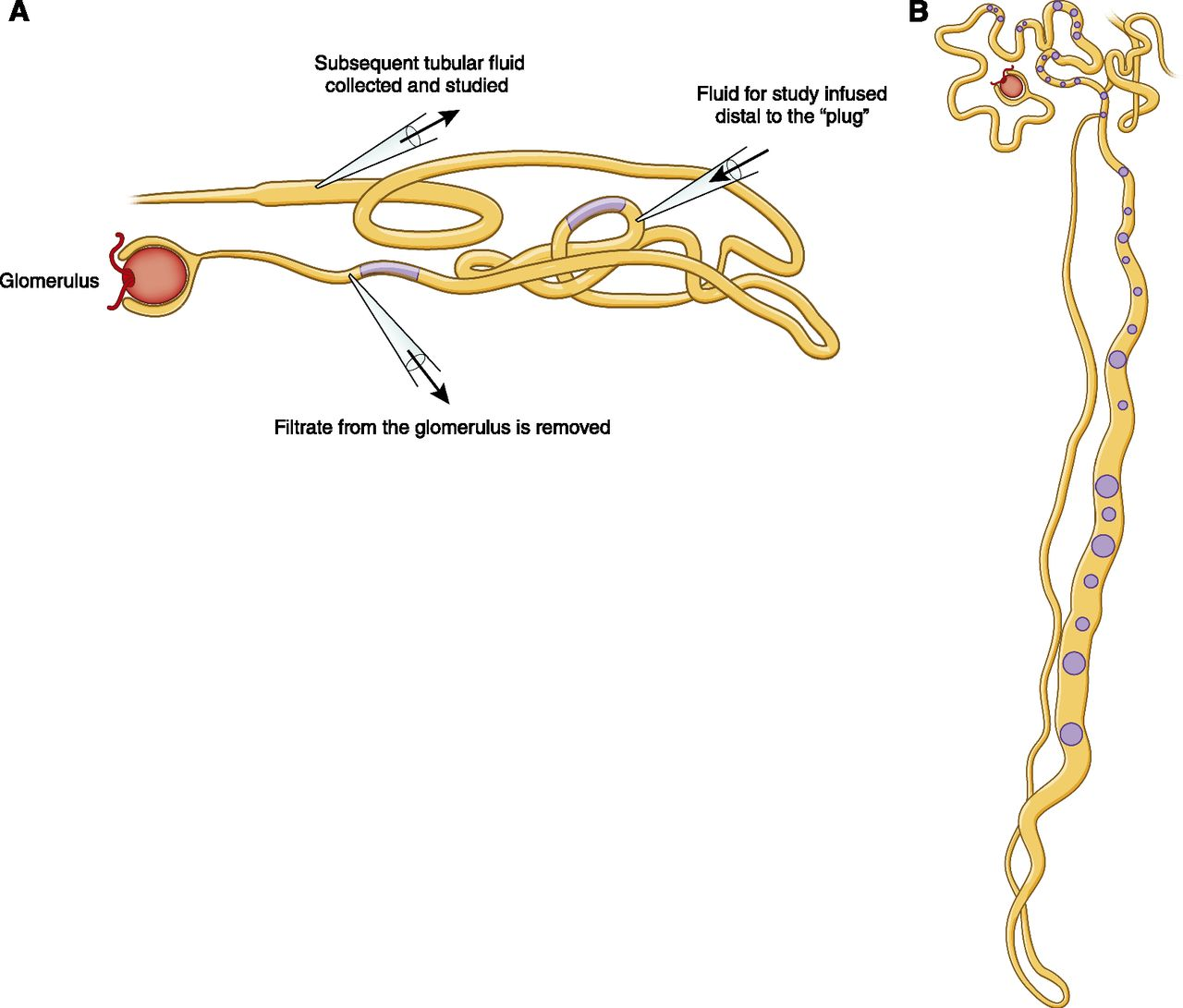 Homeostasis, the Milieu Intérieur, and the Wisdom of the Nephron
