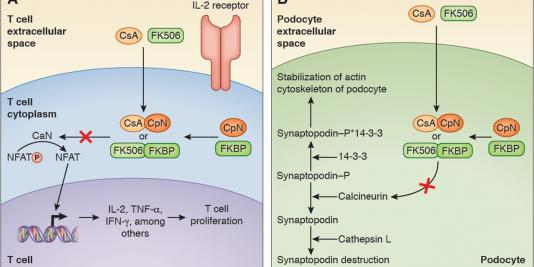 The Evolving Role of Calcineurin Inhibitors in Treating Lupus Nephritis